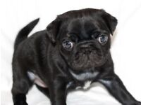 Stunning PUGS with show bloodlines - 2 black boys available