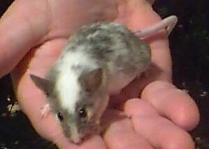 Looking for pet mice Perth Perth City Area Preview