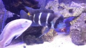 "6"" male frontosa + 4 x fully grown cuckoo cat fish"