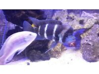 """6"""" male frontosa + 4 x fully grown cuckoo cat fish"""
