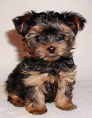 wanted a puppie any small fluffy dog would do