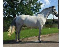 16.2h 8yo Irish Sports Horse grey mare allrounder