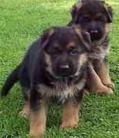 Stunning German Shepherd puppies ready for viewings
