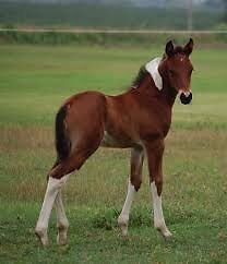 Looking for a paint colt!  London Ontario image 2
