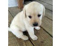 Labrador puppies for sale- £50 each, got 12!