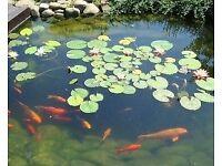 Goldfish,Golden orfe,koi