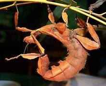 Spiny leaf stick insect eggs for sale! 50 cents each or 5 for $2. Sydney City Inner Sydney Preview