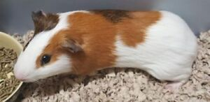 """Adult Male Small & Furry - Guinea Pig: """"Buster"""""""