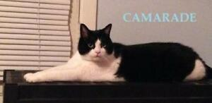 "Adult Male Cat - Tuxedo: ""Camarade"""