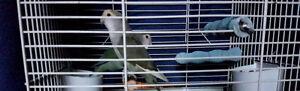 Pair of Lovebirds for Rehoming
