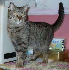 "Adult Female Cat - Tabby - Brown: ""Vicky"""