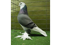 *** 4 pigeons for sale***