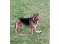 German Shepherd 13 months old very friendly family bet. Female dog with vet certificate