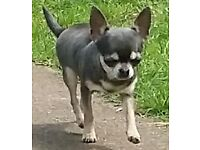 Small Chihuahua girl for sale ... 2yrs ... true blue tri