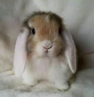 Looking for a lop bunny