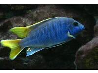 Yellow tail acai cichlid
