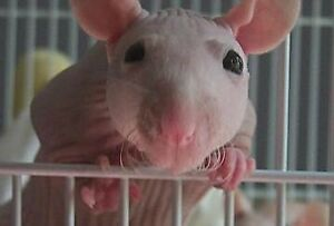 Hairless Rat (sold out at the moment)