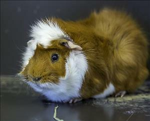 "Adult Male Small & Furry - Guinea Pig: ""Butterscotch"""