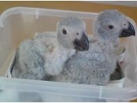 African Grey Parrot Baby