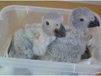 Baby African Grey Parrot.