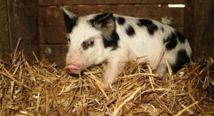 MINIATURE PIGS FOR SALE - Sold Desexed!