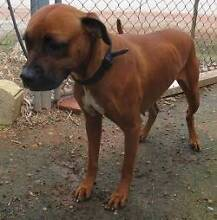Boxer X (Carmy) is ready for adoption York York Area Preview