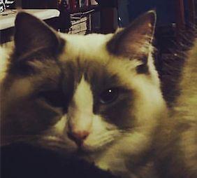 Male Desexed Bi-Colour Cat. Free to Good Home Armidale Armidale City Preview