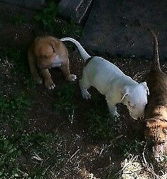 Red Male Bull Mastiff x Bull Arab Puppy For Sale