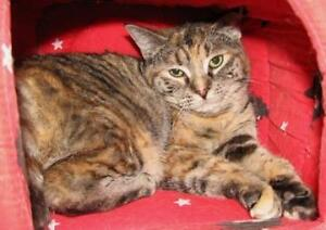 "Senior Female Cat - Manx: ""Giselle"""