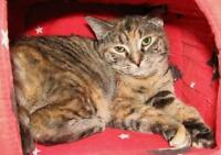 "Adult Female Cat - Manx: ""Giselle"""