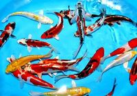 KoiCollectors. Edmonton's Nicest Imported Japanese Koi Fish