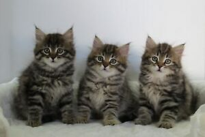 Wanted: 2 Siberian or Maine Coon Kittens. Brother/Sister