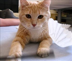 """Young Female Cat - Domestic Short Hair: """"Alice"""""""