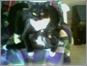 Two adult male cats perfect for senior citizen