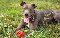 """Adult Male Dog - Pit Bull Terrier: """"Charlie"""""""