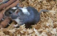 "Young Male Small & Furry - Gerbil: ""Rod"""