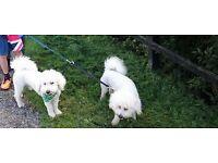 2 Male Bichon Frise dogs