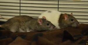 """Young Female Small & Furry - Rat: """"Lucy and Ethel"""""""