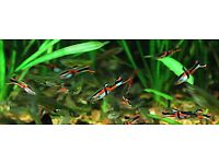 Freshwater tropical fish for sale- Live bearers