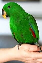 WANTED  VOSMAERI ECLECTUS MALE 8 + WEEKS UP TO 1 YEAR Parramatta Parramatta Area Preview