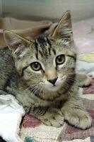 "Young Male Cat - Domestic Short Hair: ""Sparrow"""