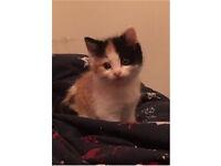 Adorable fluffy tortoise kitten for sale