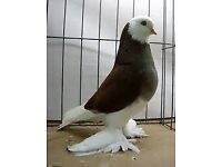 West of England Tumbler Pigeons £10 each.