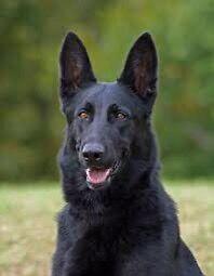 Large pure black female family dog