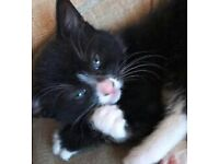 8 weeks old persian x tabby girl