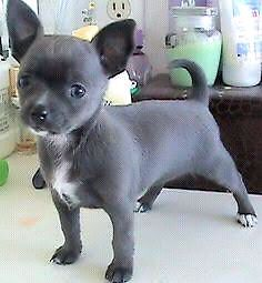 chihuahua/chug short coat Tewantin Noosa Area Preview