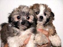 Wanted a small breed puppy Brisbane Region Preview