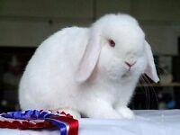 A friendly female albanian lop rabbit