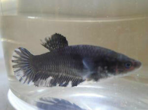 Black Orchid Halfmoon Plakat Bettas (Male) Downtown-West End Greater Vancouver Area image 2
