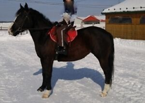 Flashy large poney cheval a vendre